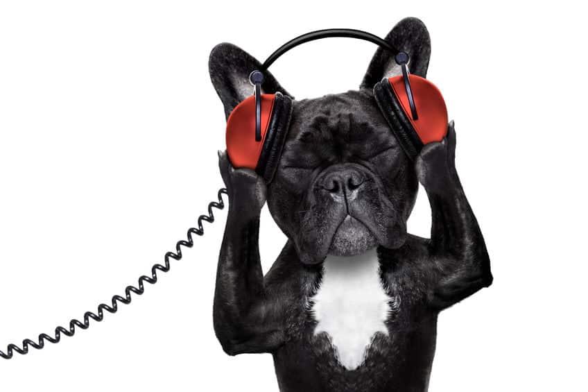 Franse bulldog luistert naar audioboek